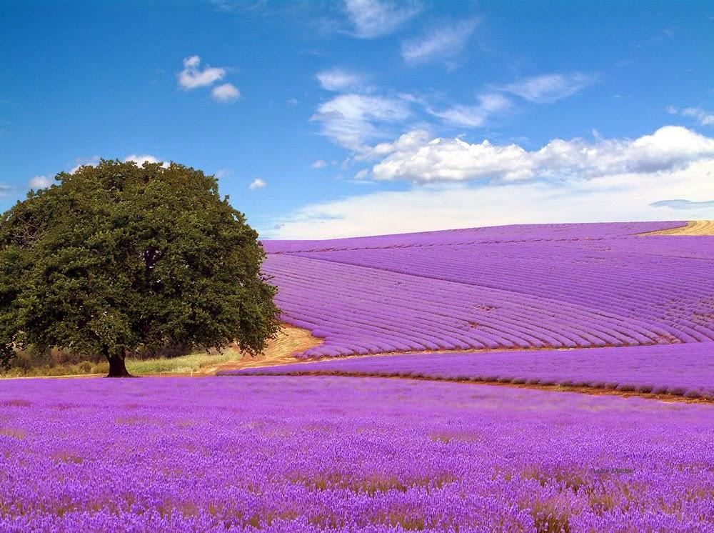 ảnh đẹp hoa oải hương