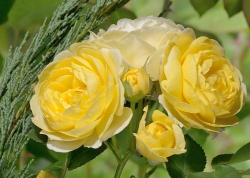 Comtesse du Barry (Golden Border) rose сорт розы фото