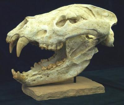 Agriotherium skull