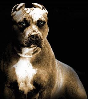 بيتبول أشرس كلاب العالم