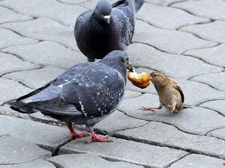 pigeon moineau