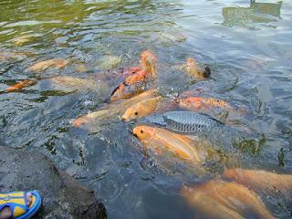 umpan mancing ikan mas air keruh