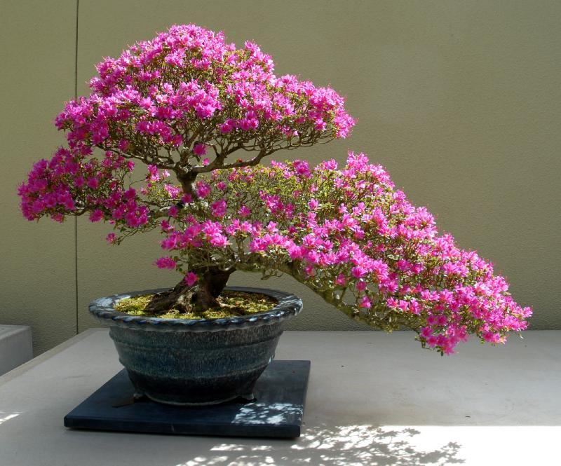 Let 39 s learn japanese the art of bonsai for Azalea bonsai