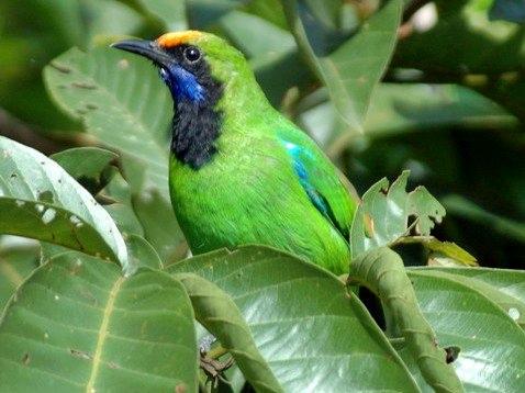 sekilas tentang burung cucak ijo thailand dunia blogger