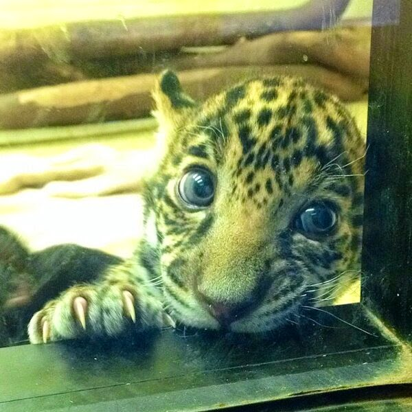 Funny animals of the week - 5 April 2014 (40 pics), cute baby jaguar