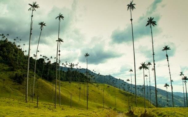 أطول شجرة نخيل في العالم,موقع جزيرة خيال