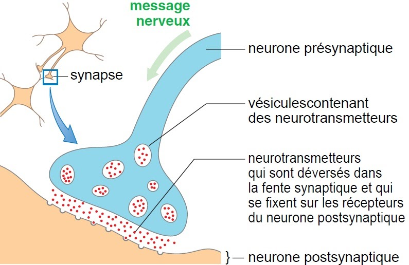 T p e stimuli visuel le neurone et la transmission for Influx nerveux