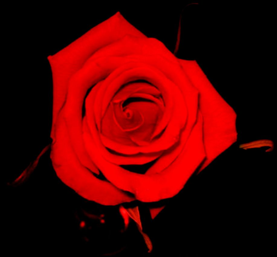 Story  The Red Rose