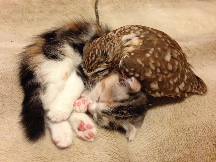 Mochuelo y gatito son inseparables amigos de siesta en un café en Japón