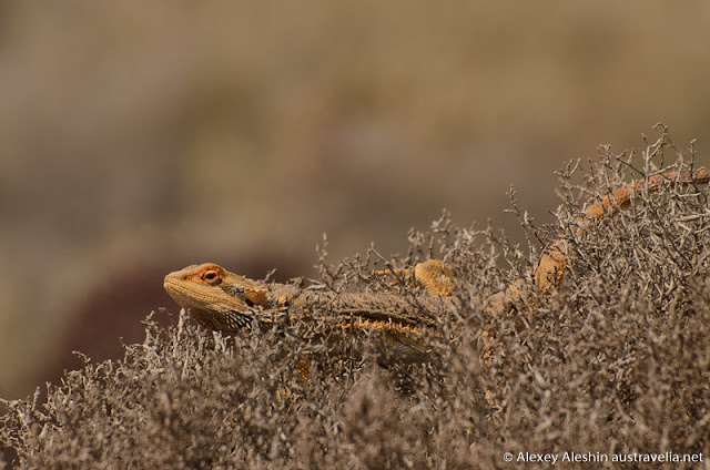 Bearded Dragon Lizards are very common along the off-road trail and other country roads