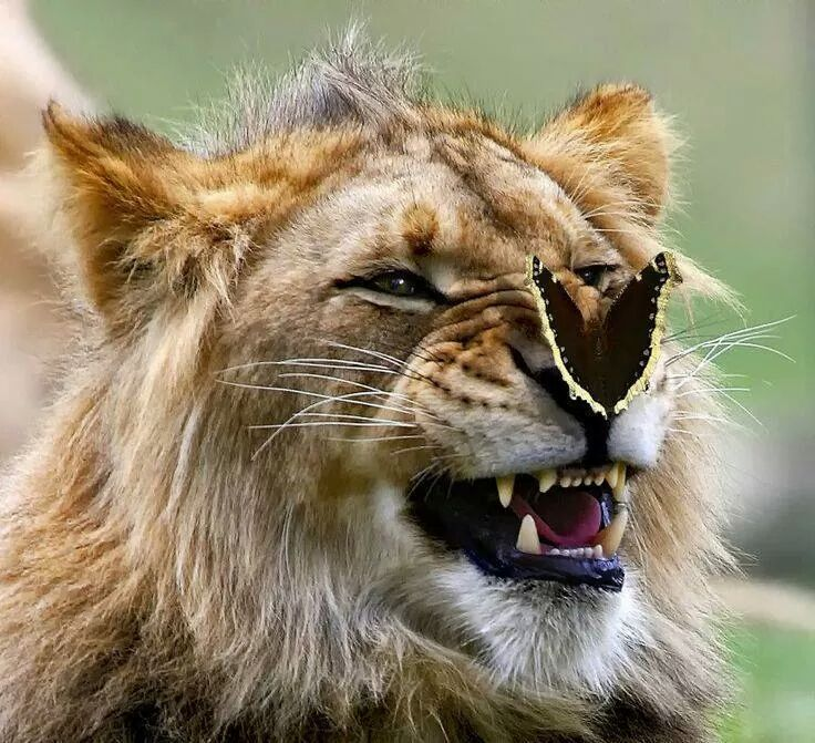 La patte du lion les lions - Patte de lion ...