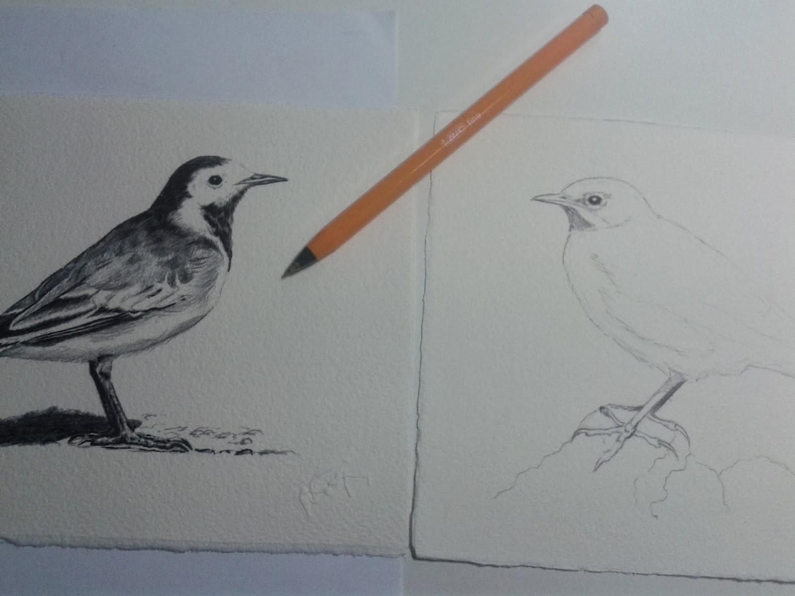 motacilla alba motacilla cinerea ilustración aves wildlife art FIO Extremadura 2014 Wildwatching Diego Ortega