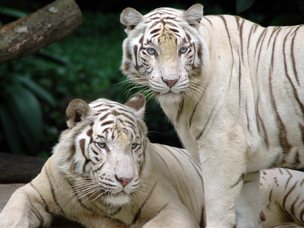 http://3.bp.blogspot.com/-ss2AQN6ecTM/TaZAthb5OcI/AAAAAAAAD4k/MFHJ4ZXuVd0/s1600/white_bengal_tigers_1024x768.jpg