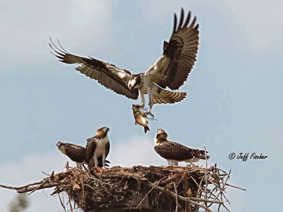 Osprey bringing fish to the nest