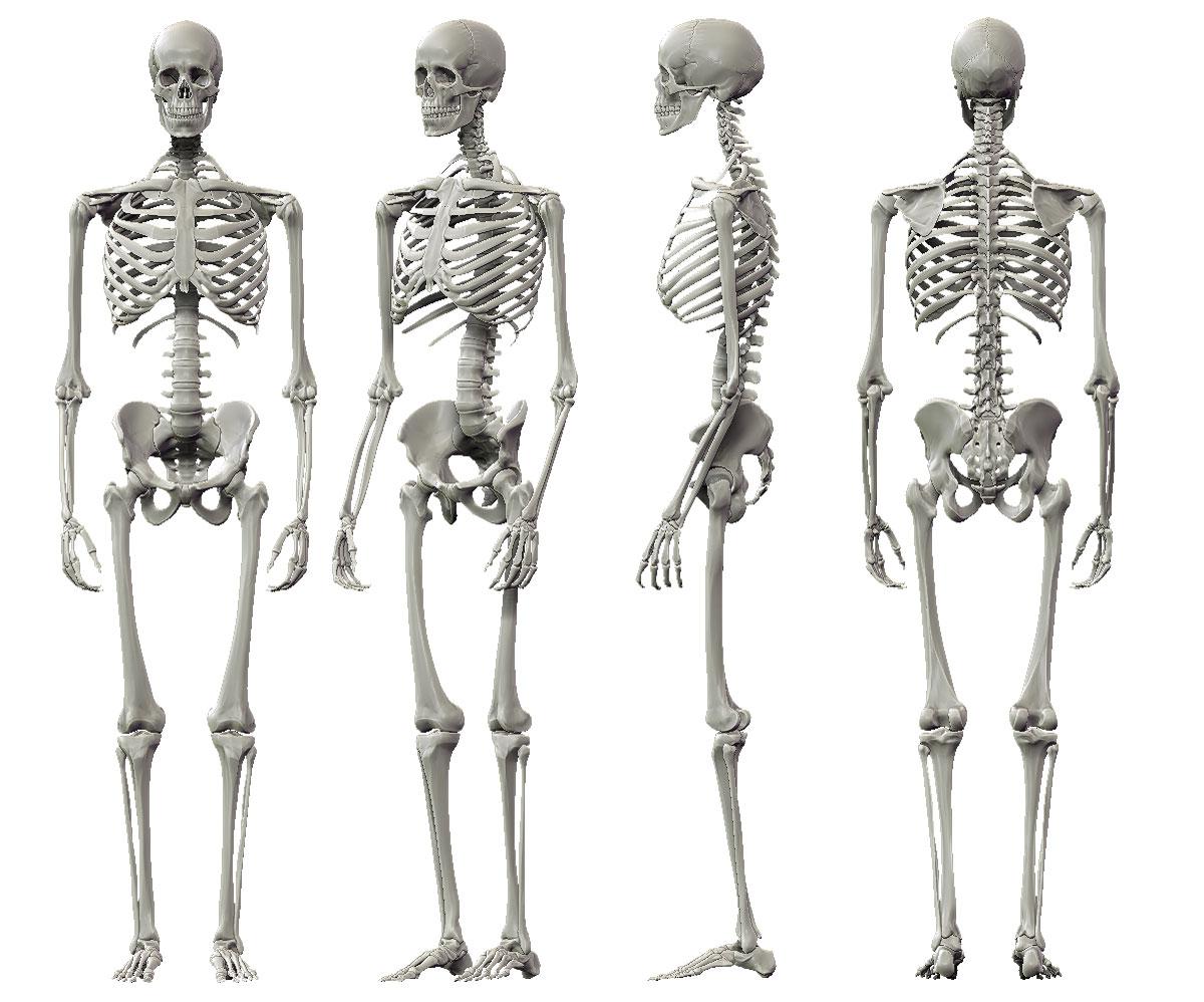 download human skeleton vs chimpanzee skeleton | ohnonotstereo, Skeleton