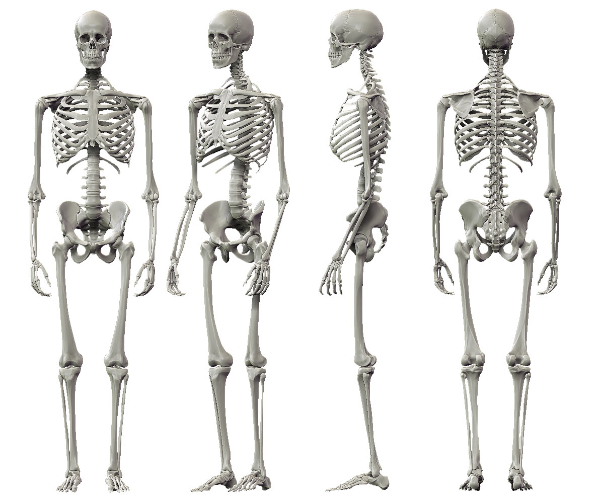 Human Skeleton Labeled Anatomy Skeleton picture small human