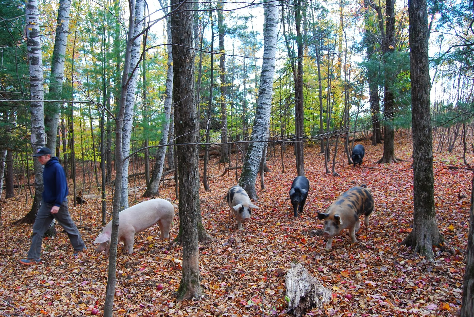 climbing tree farm pigs in the woods. Black Bedroom Furniture Sets. Home Design Ideas