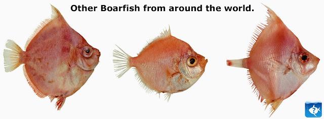 boar fish information