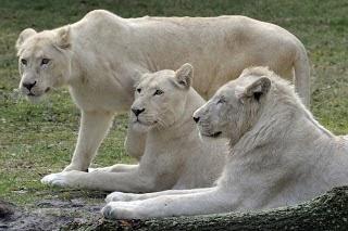 White lion .
