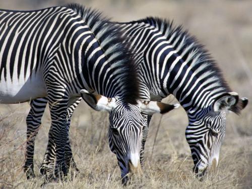 Pretty Zebras Enjoying Themselves Mother Zebra Showing Motherly