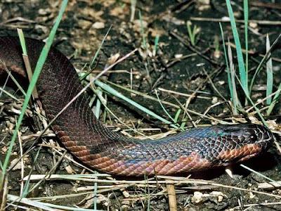 Cobras virgens se reproduzem e intrigam cientistas 2006-046680-_20060627