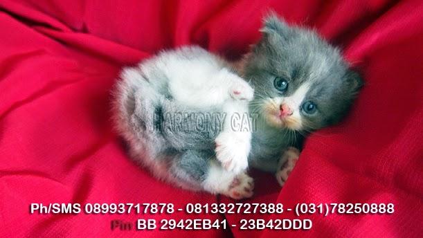 Hamster Dan Kucing Persia Murah Surabaya Kucing Flatnose