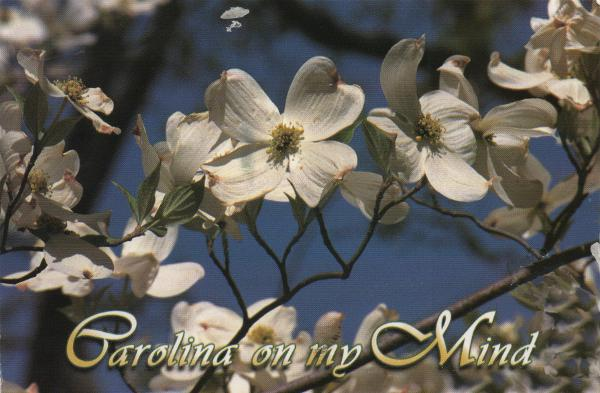 Dogwood blossom in springtime, North Carolina's state flower