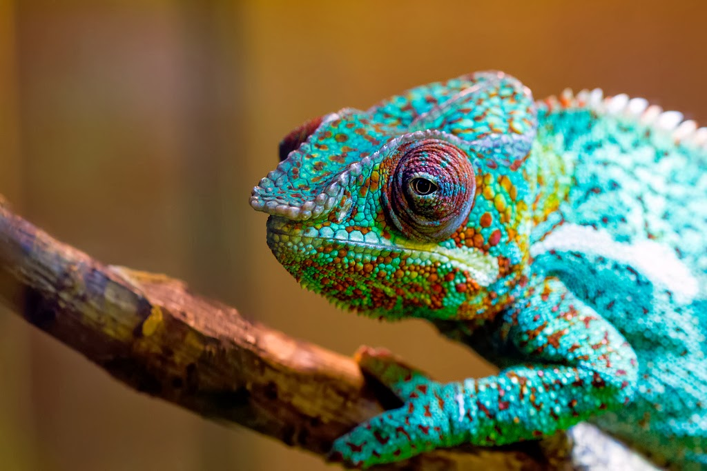 Beautiful Rainbow Chameleon