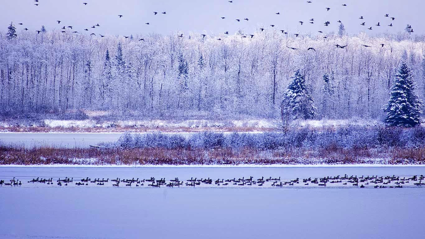 Canada geese fly through Elk Island National Park, Alberta, Canada (© Paul Horsley/Corbis) 204