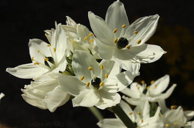 Star, Bethlehem, ornithogalum, bulb, white, bright, plants, nature, garden, bloom, petals, stamens, macro, close-up, sarah myers, photography, photograph, spring, blanco, plantas, flores, natura,