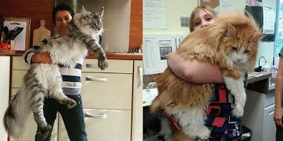 Inilah Maine Coon, Kucing Rumahan  Terbesar di Dunia