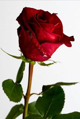 Hermosa rosa roja para compartir en Facebook