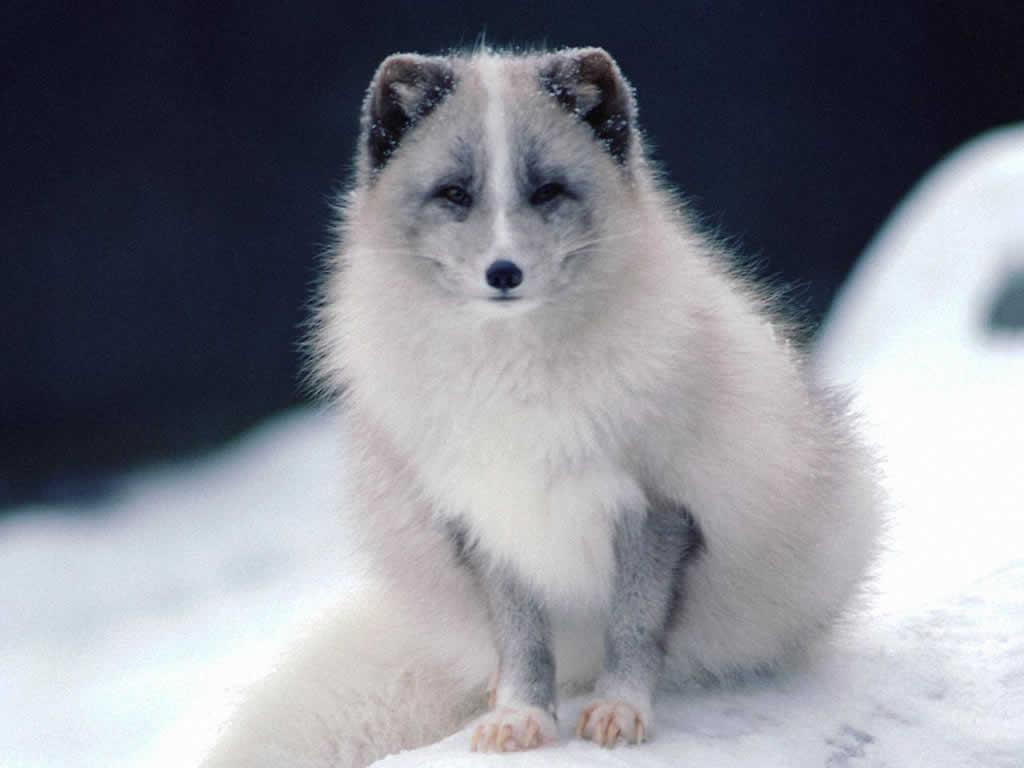 http://3.bp.blogspot.com/-sukLpcs0knE/T_bf6m2G3PI/AAAAAAAACt0/vKtMJPeZv4k/s1600/069-white-fox-wallpaper-animal.jpg
