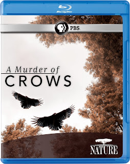 Nature A Murder Of Crows