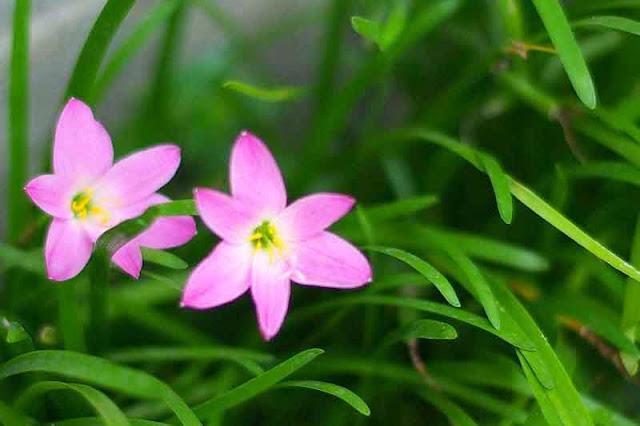 pink rain lilies