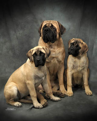 english mastiff dogs the english mastiff is the sturdiest of dog ...