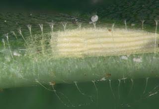 Sarang ngengat Bucculatricidae