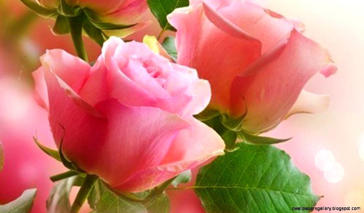 Pink Roses Computer Wallpapers Desktop Backgrounds  1366x768