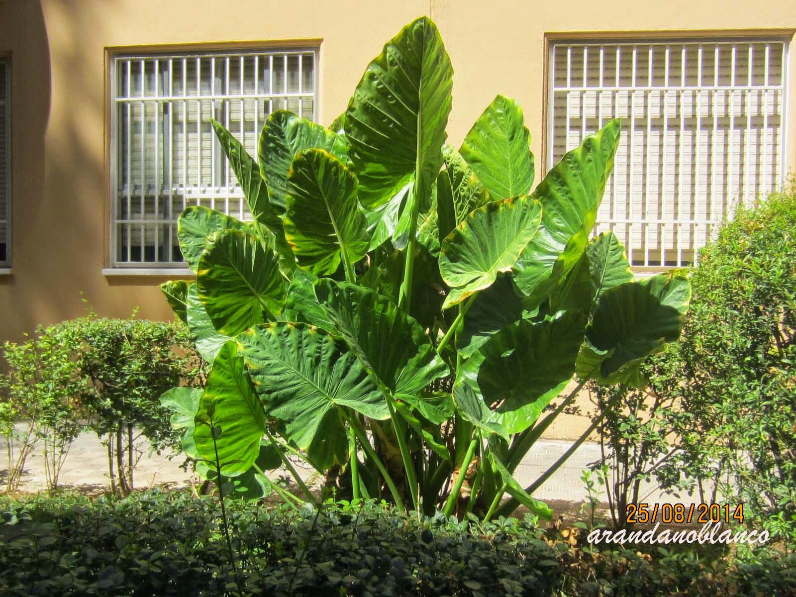 Arbustosensevilla encinarosa oreja de elefante 2 for Planta ornamental oreja de elefante