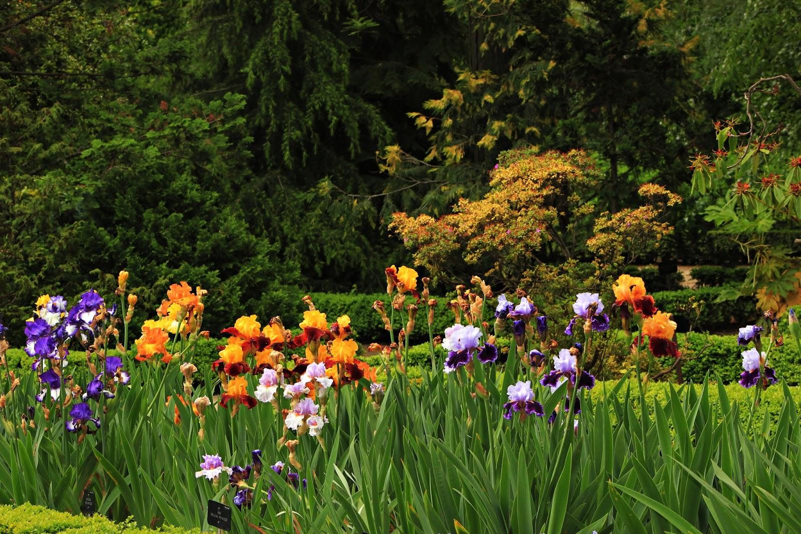 Arte y jardiner a lirios iris for Jardin 7 colores bernal