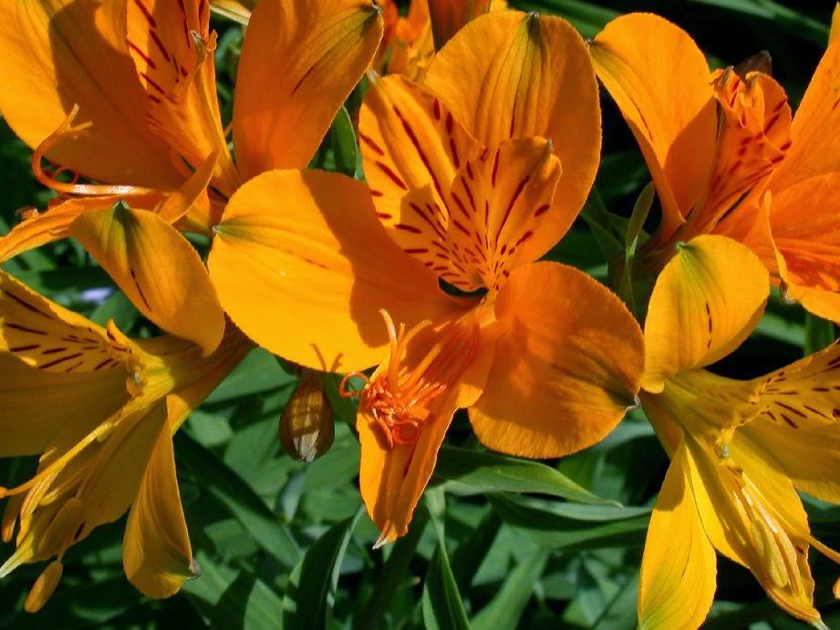 la alstroemeria o alstroemeria aurantiaca cuidados | verde jardín