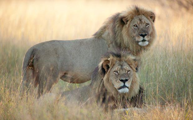 Image result for Lion blogspot.com