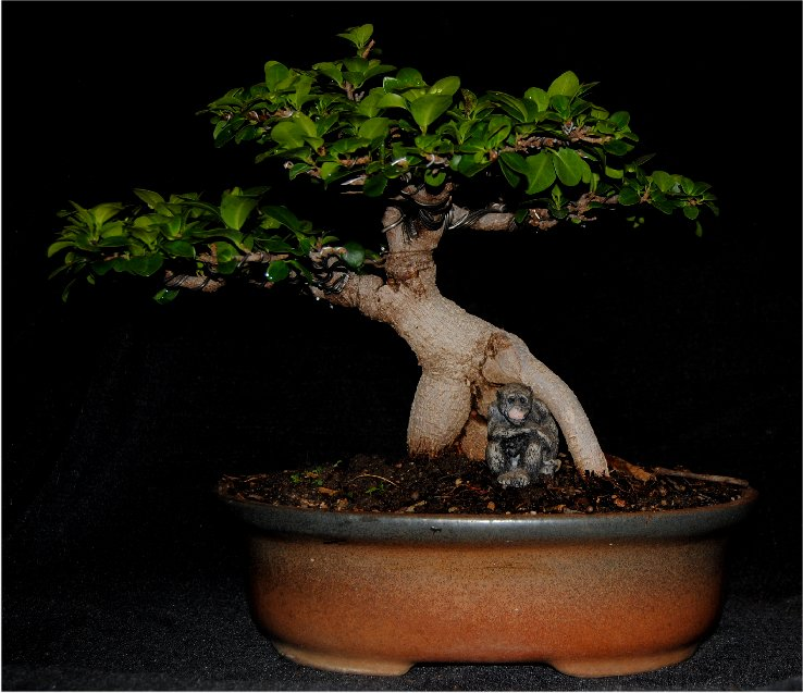 lennard 39 s bonsai beginnings ginseng pot belly ficus. Black Bedroom Furniture Sets. Home Design Ideas