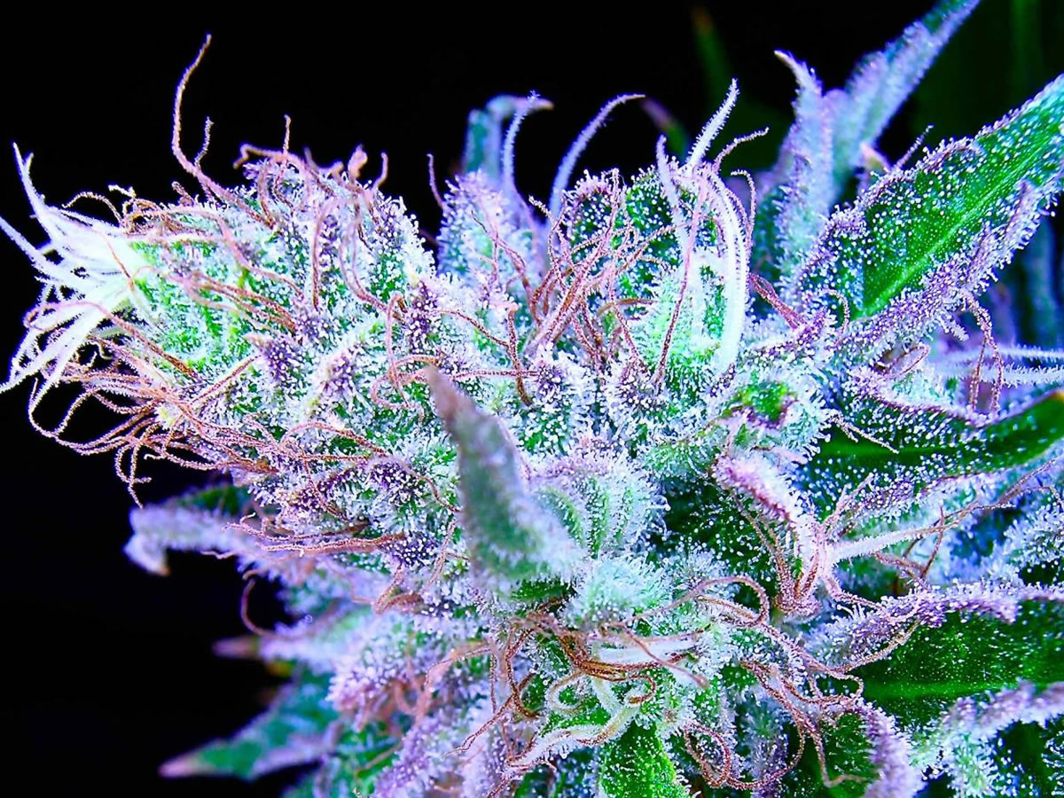how to grow exotic weed