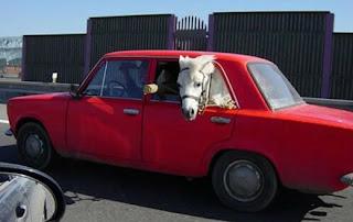 Cavalo dentro carro
