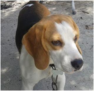 Χάθηκε beagle 2,5 ετών από την περιοχή ΤΕΙ- Γούρνες Ηρακλείου.