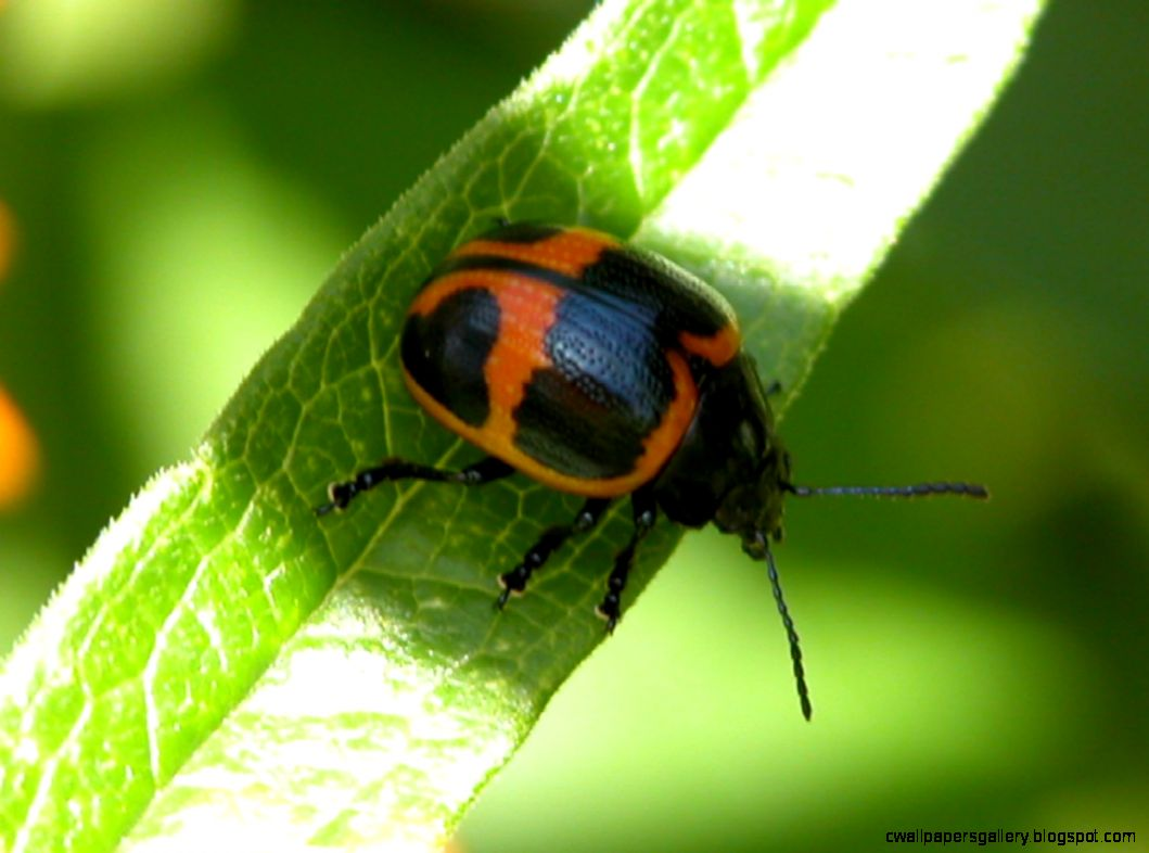 red black beetle insect wallpapers gallery