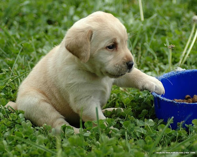 White Labrador Cute Puppy Picture