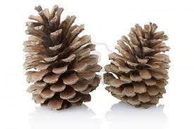 piña (cono) seca de pino
