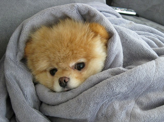 Is This The Cutest Dog In The World Boo The Pomeranian